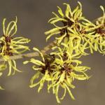 Plantes : L'hamamélis