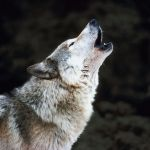 Rêves : rêver de loup