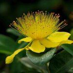 Les plantes : le millepertuis