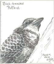 2010-3-4-blackbreasted-puffbird