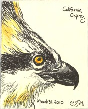 2010.3.31.California.Osprey