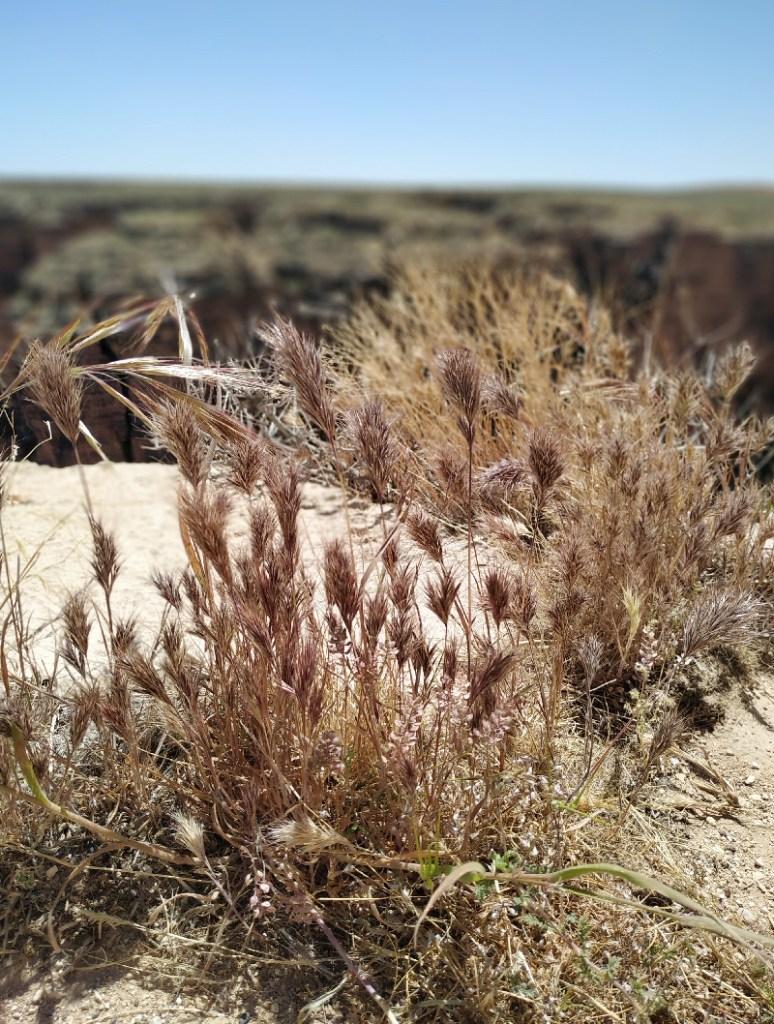 little colorado river plantes