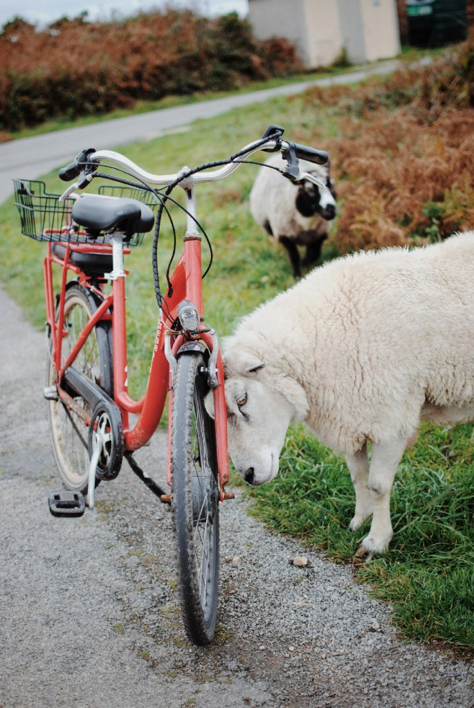 moutons de ouessant bretagne finistère