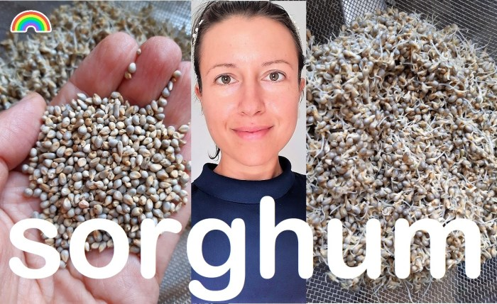 How to sprout #sorghum ?