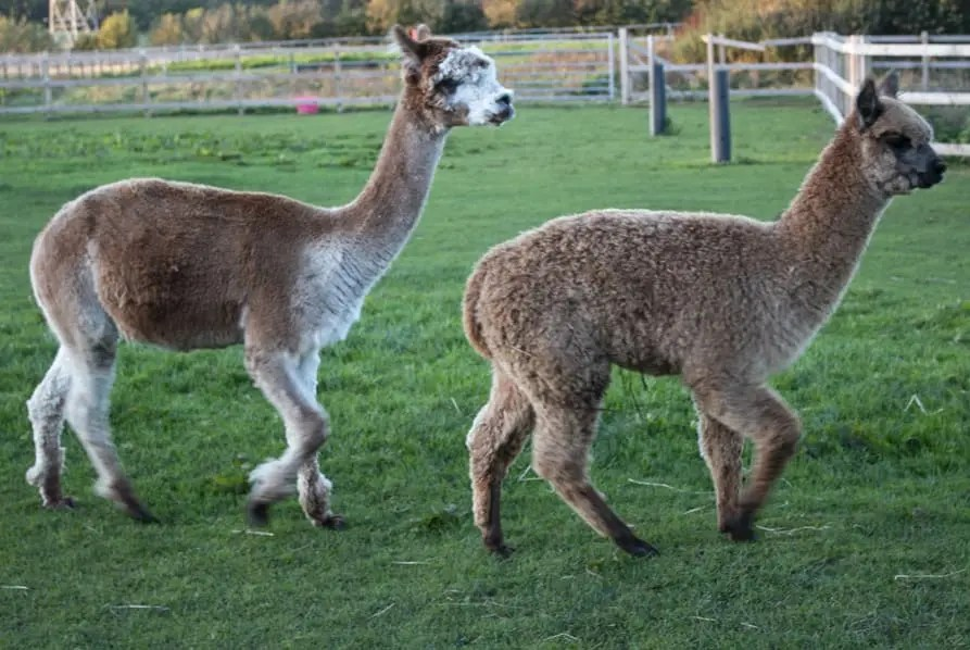 two alpaca running in paddock