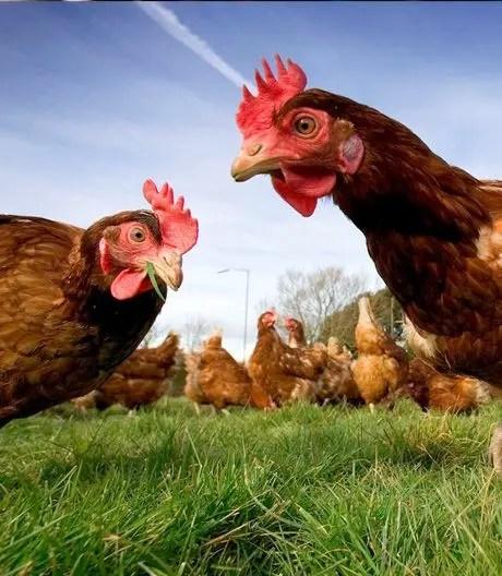 free range hens in field