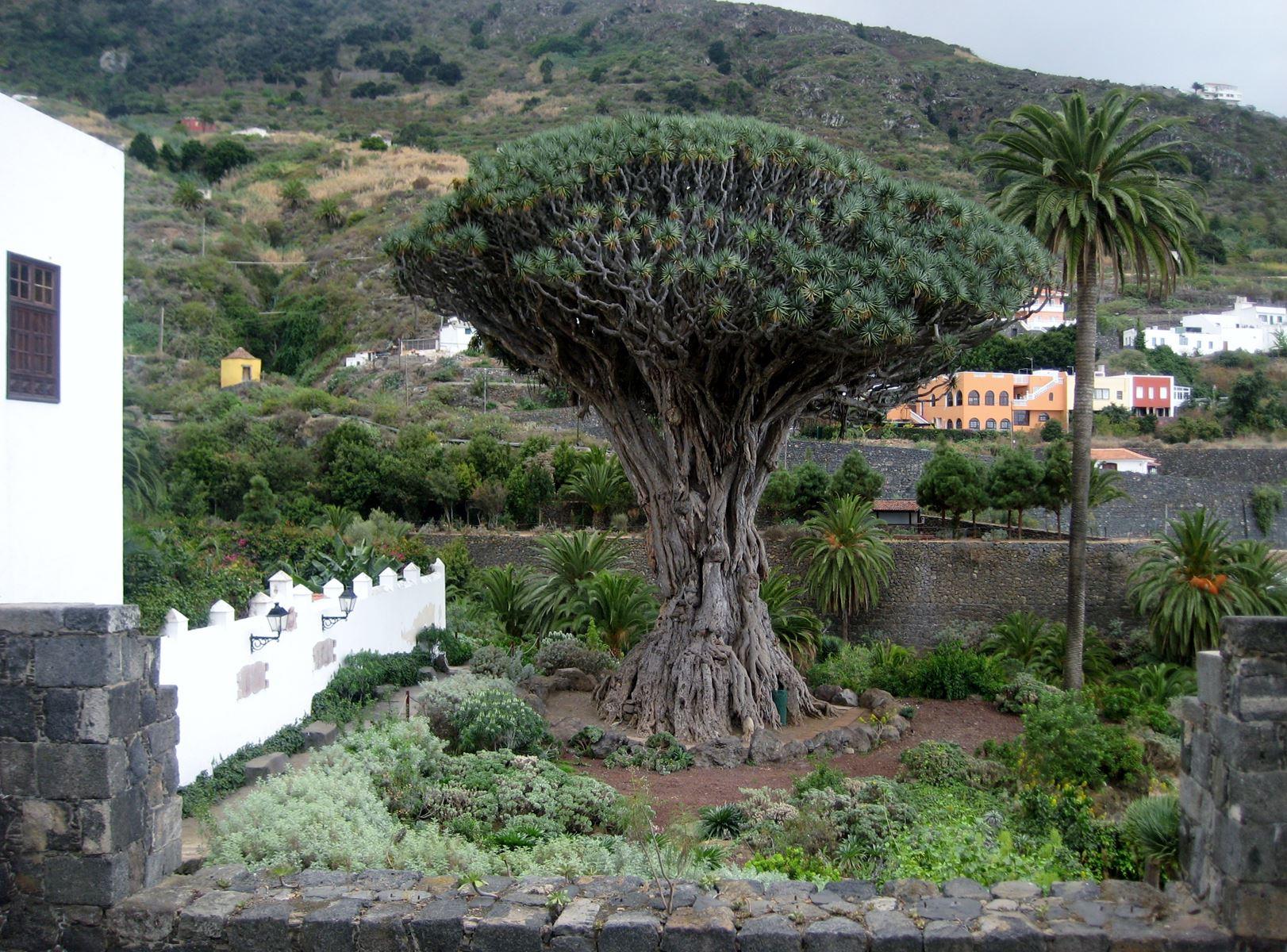 Tenerife Icod de los Vinos Le Drago Millénaire CLaironyva