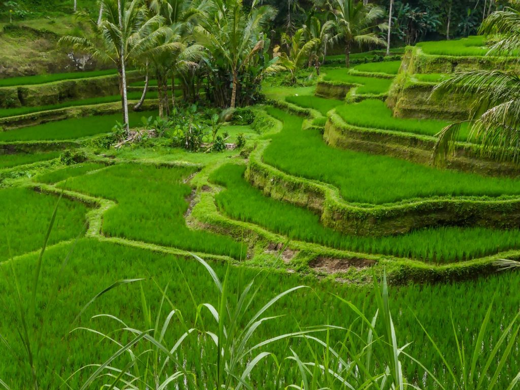 Bali Tegallalang rizières terrasse