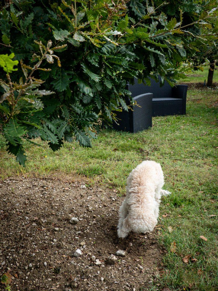 Les truffes noires de Montcuq