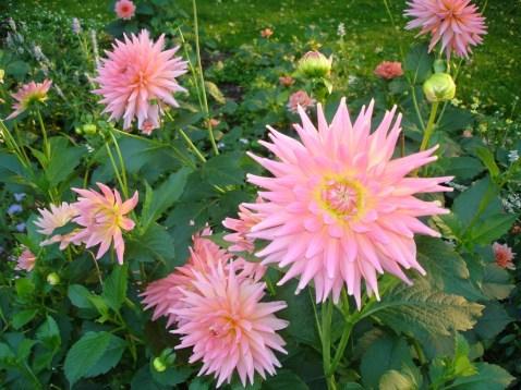 0311-dahlien-rosa