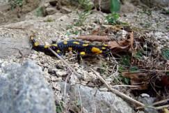 DSC01645-salamandra