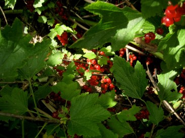 fruits-redberries2