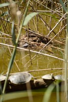 les tortugues esperen que marxi el Cabusset, que està covant, per cruspir-se els ous...