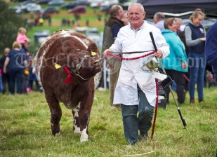 Bobby O Connell returns from the ring with the Champion Shorthorn title at Kildysart Show. Photograph by John Kelly