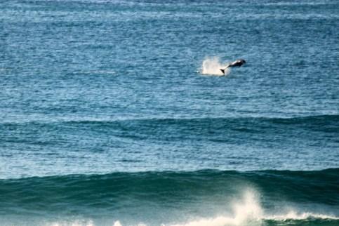 Dolphins - Splashing2