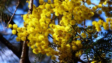Beautiful Wattle