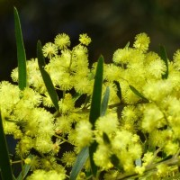 Wattle, Wattle, Everywhere