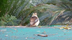 The Posing Kookaburra (June 1, 2015)