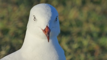 This silver gull was not happy about not getting a chip