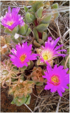 Plants found in the Clarens Village Nature Reserve Delosperma lavisiae
