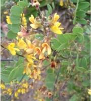 Calpurnia sericea
