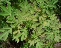 Leucosidia (Ouhout) Trail