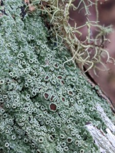 Lichen photographed by Ben near Loongana in Tasmania
