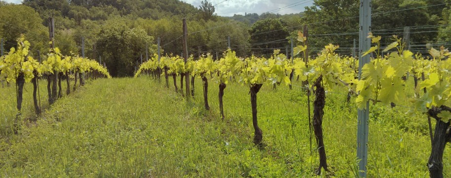 vineyard at Marpeau
