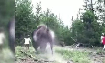 Video: Charging bison tosses​ fleeing ​9-year-old girl into the air at Yellowstone
