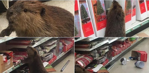 Must see: Beaver goes Christmas shopping at the dollar store!