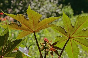 Castor oil plant with red prickly fruits and colorful leaves close up