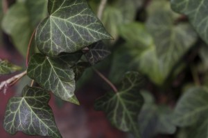 Green ivy growing on red brick wall