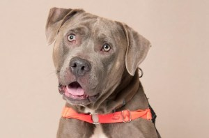 Humane Society for Southwest Washington Pet of the Week Taz