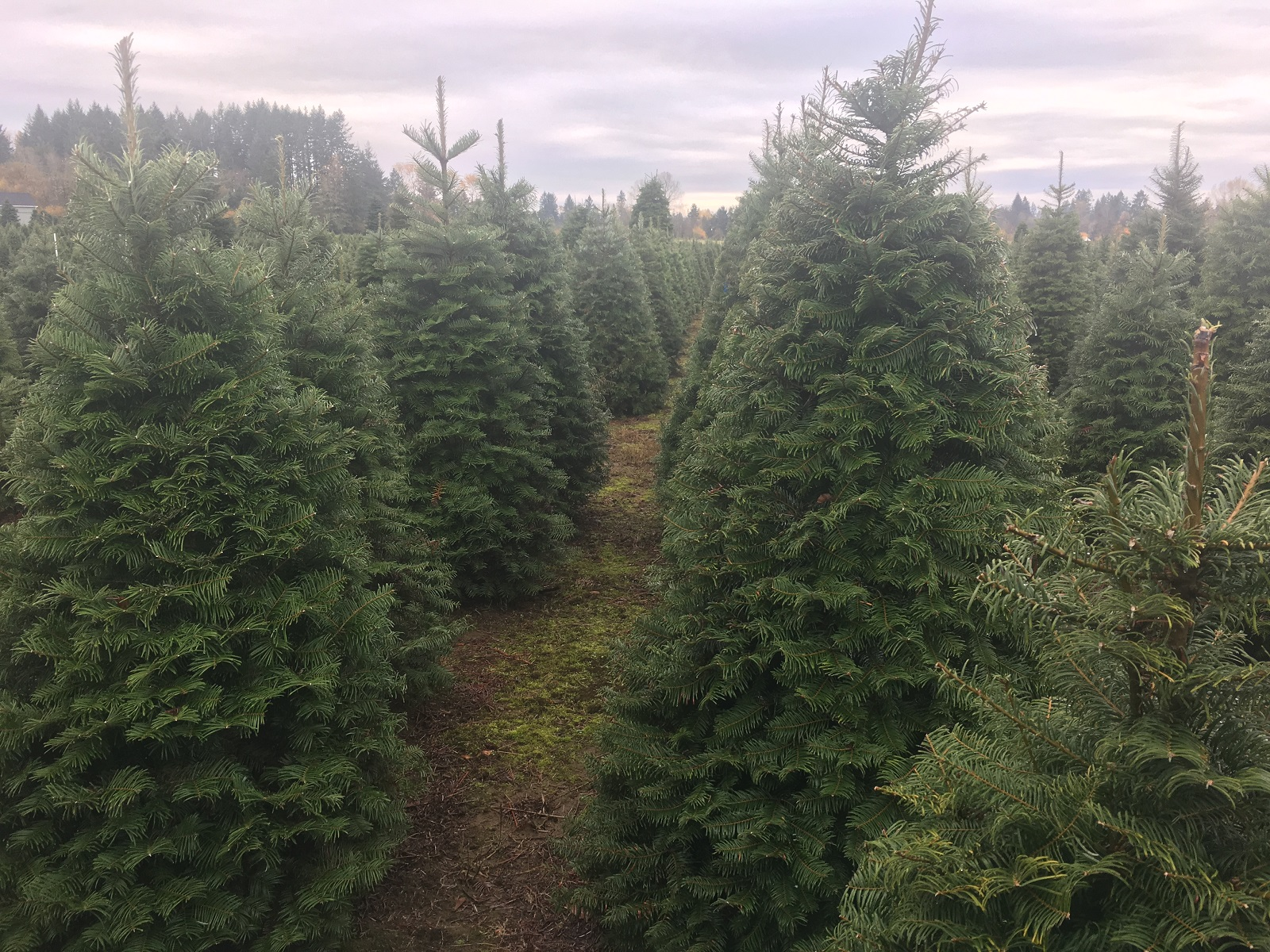 How Long Does It Take A Christmas Tree To Grow.The Tree Wisemans Explain What It Takes To Grow The Perfect