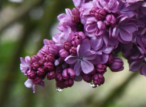 Lilac Days @ Hulda Klager Gardens | Woodland | Washington | United States