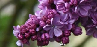 Flower fields and festivals Pacific Northwest Hulda Klager Lilac Garden