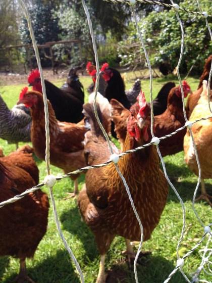 Half Moon Farm Chickens