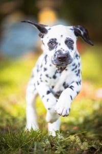 Kristen Andersen Photography Ridgefield Dalmation Pup Running