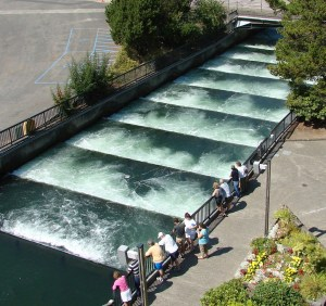 Wacthing salmon above the fish ladder via Don Graham