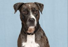 Humane Society for Southwest Washington Pet of the Week Saint