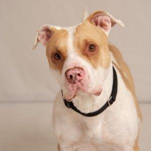Humane Society for Southwest Washington Pet of the week Buddy