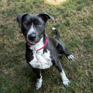 Humane Society for Southwest Washington Pets of the Week Ace