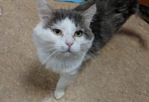 Humane Society for Southwest Washington Pets of the Week babyface