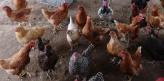 Clark-County-Ridgefield-The-Chicken-People-Covered-Hen-Run