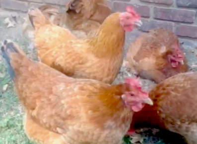 Raising Chickens In Your Backyard Is Easier Than You Think Clarksvillenow Com