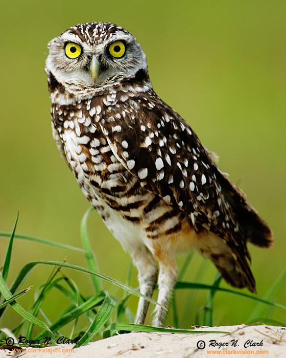 Borrowing Owl