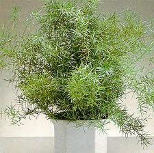 Espargo-ornamental.