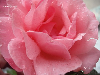 trandafiri-roz
