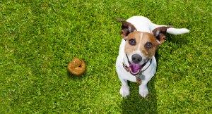 Cachorro sobre a grama com cocô do lado