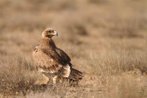 Steppe eagle, Aigle des steppes, Aquila nipalensis